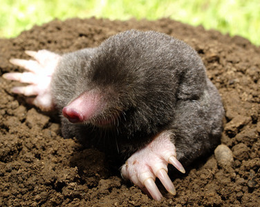 Mole control and trapping