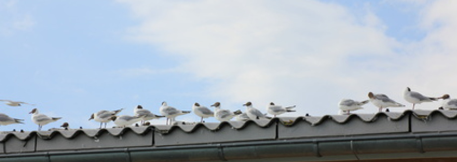 Gull problems Enfield