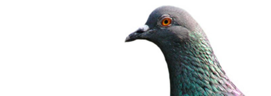 Pigeon problem hertfordshire